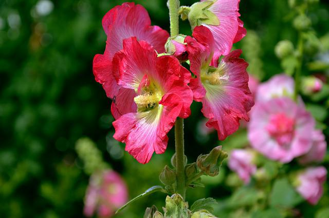 Stock Rose, Mallow, Hollyhock, Flowers, Bloom, Petals