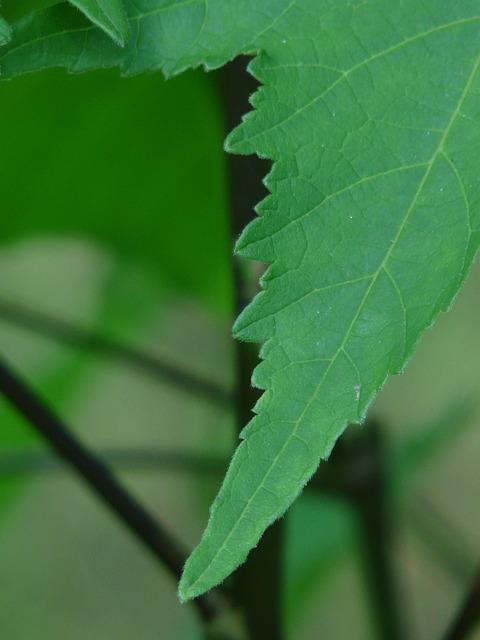 Leaf, Abutilon, Ornamental Plant, Mallow, Malvaceae