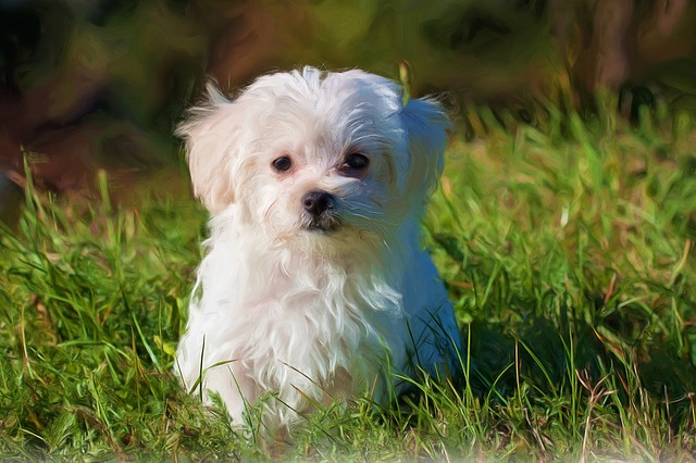 Painting, Oil Painting, Photo Painting, Dog, Maltese