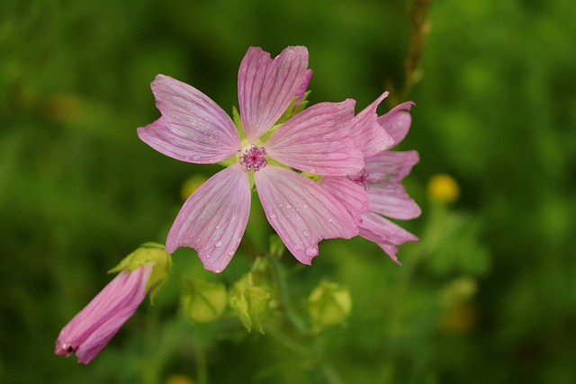 Roses-mallow, Malva Alcea, Rose Mallow, Pink, Blossom