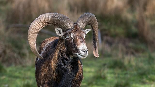 Muflon, Aries, Corners, Wild, Animal, Mammal