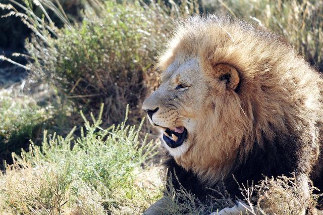 Lion, Wild, Animal, Africa, Carnivore, Mammal, Majestic