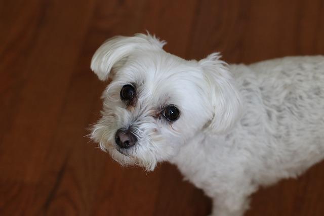 Dog, Mammal, Animal, Cute, Pet, Bichon, Maltese