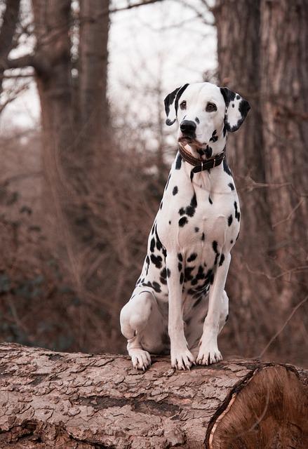 Dog, Animal, Nature, Cute, Portrait, Mammal, Dalmatians