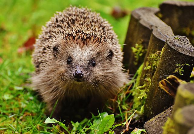 Hedgehog, Animal, Hoglet, Spur, Nature, Mammal, Hannah