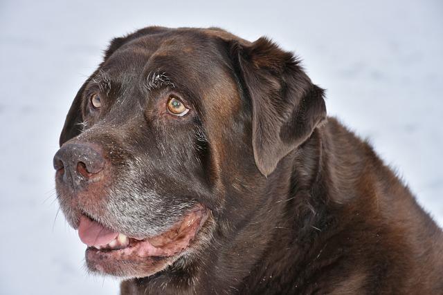Dog, Animal, Pet, Cute, Mammal, Labrador, Brown, Happy