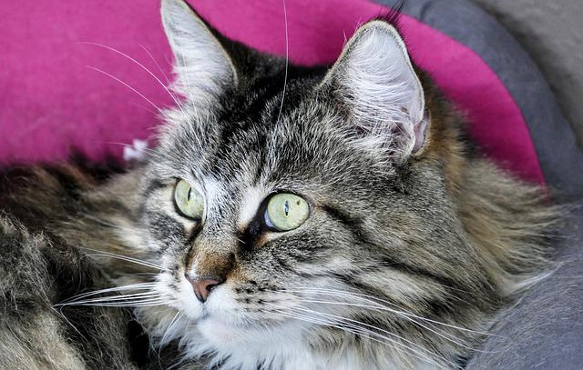 Cute, Animal, Cat, Pet, Portrait, Mammal, Fluffy