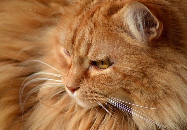 Cat, Animal, Portrait, Cute, King, Mammal, Pet