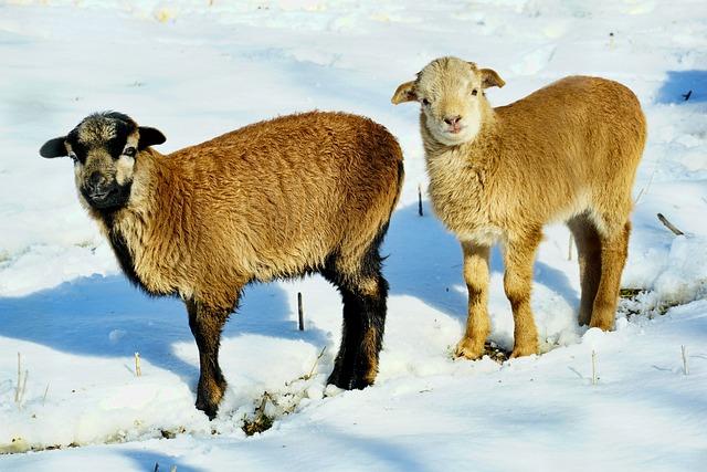 Mammal, Goat, Farm, Animals, Snow, Kitz
