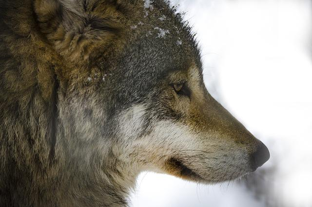 Mammal, Animal Life, Animals, Nature, Wolf, Predators