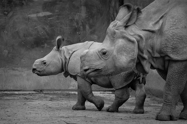 Rhino, Baby Rhinoceros, Animal, Mammal, Calf