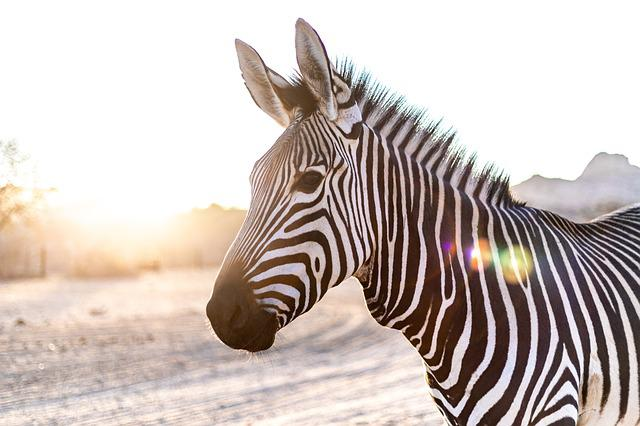 Zebra, Head, Backlighting, Mammal, Nature, Pasture