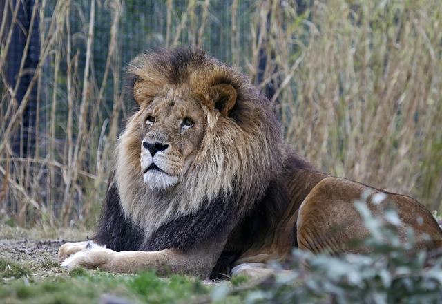 Lion, Wildlife, Mammal, Nature, Carnivore, Animal, Zoo