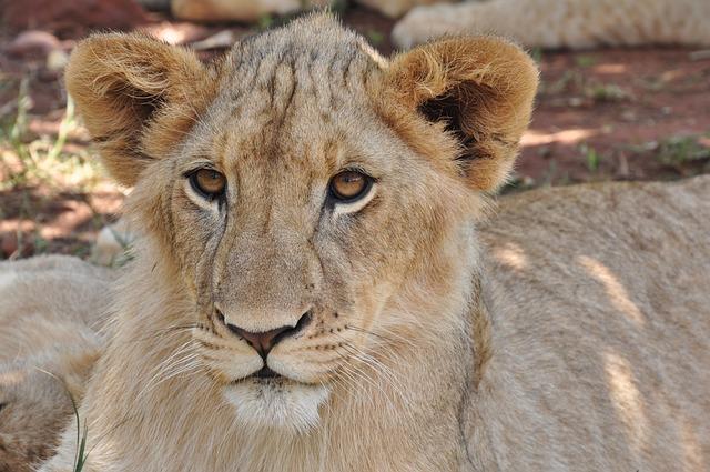 Wildlife, Lion, Cat, Animal, Mammal, Nature, Carnivore