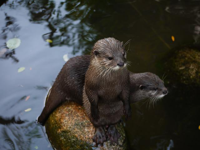 Otter, Mammal, Clawed Otter, Making Males