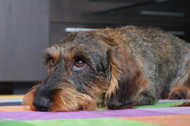 Dachshund, Puppy Eyes, Animal, Mammal, Dog, Cute