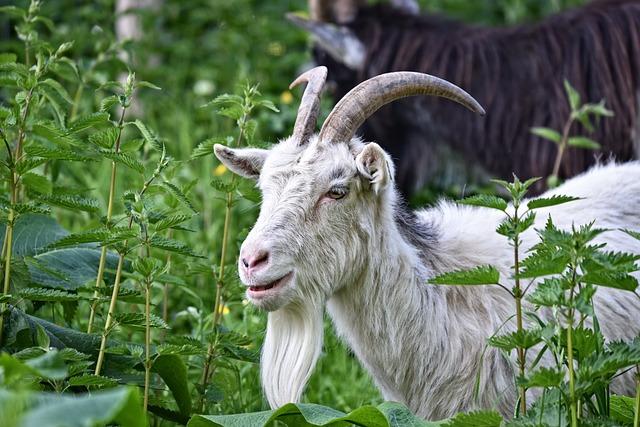 Saanen Goat, Goat, Domestic Goat, Animal, Mammal