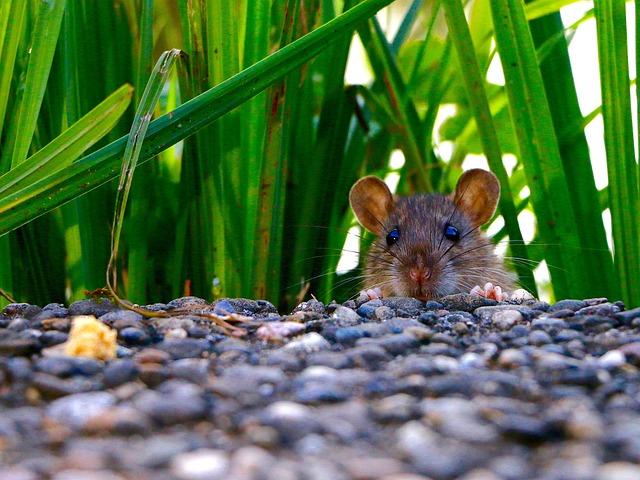 Mammal, Rat, Eyes, Ears, Follow Your Nose, Foraging