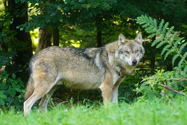 Wolf, Predator, European Wolf, Carnivores, Mammal