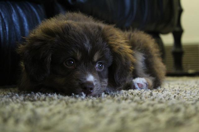 Dog, Pet, Cute, Mammal, Canine, Eyes