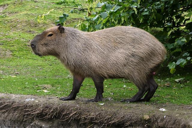 Capybara, Faunapark, Animal Park, Rodent, Mammal, Fur