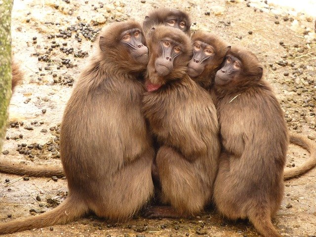Baboons, Monkey, Mammal, Freeze, Selfie