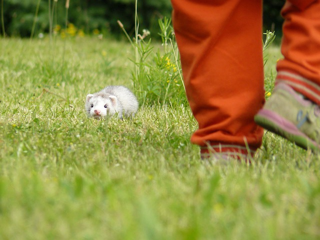 Ferret, Baby, Polecat, Weasel, Furry, Mammal, Pet