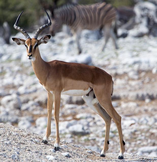 Antelope, Animal World, Mammal, Gazelle