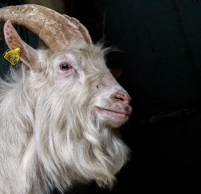 Mammal, Animal, Portrait, Nature, Fur, Goat, Head
