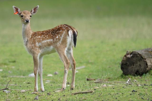 Fallow Deer, Fawn, Hirsch, Young, Mammal, Dama Dama