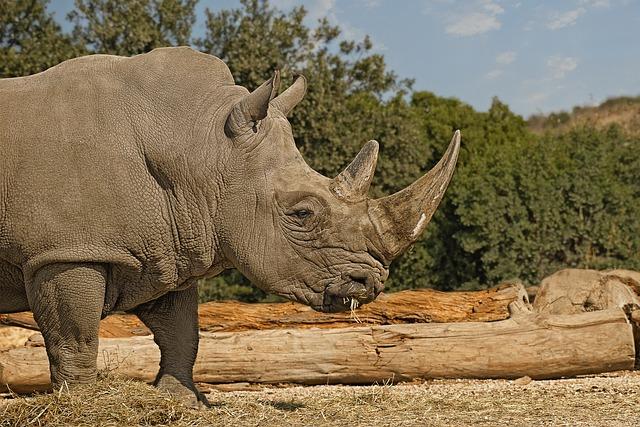 Rhinoceros, Mammal, Herbivore, Horn, Pachyderm
