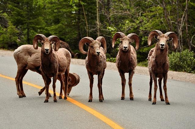 Sheep, Horns, Animal, Wild, Mountain, Ram, Mammal