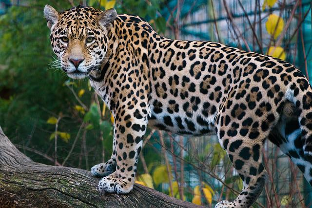 Animal World, Mammal, Nature, Animal, Jaguar