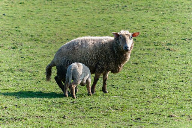 Mammal, Prairie, Lawn, Animal, Sheep, Lambs, Field