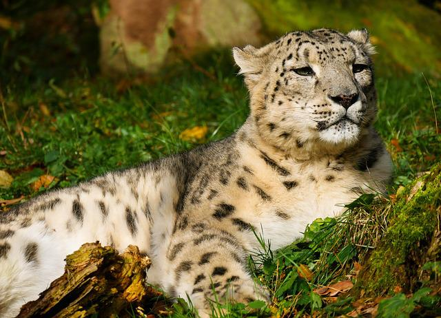 Animal World, Leopard, Snow Leopard, Mammal, Cat