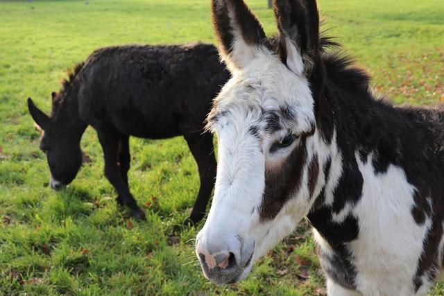 Animal, Mammal, Lawn, Prairie, Livestock, Donkeys