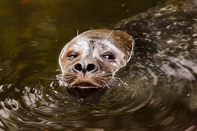 Animal, Aquatic, Brown, Eye, Eyes, Face, Mammal, Marine
