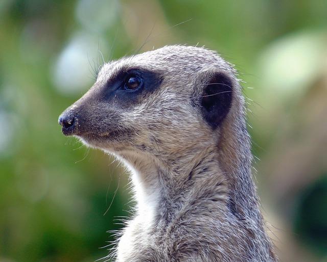 Wildlife, Mammal, Animal, Nature, Cute, Meerkat, Fur