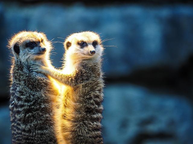 Meerkat, Animal, Mammal, Endangered Species, Zoo