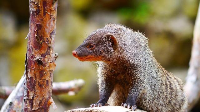 Mongoose, Mammal, Creature, Active, Wild Animal