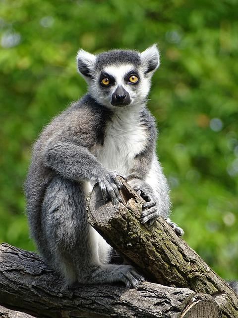 Lemur, Animal, Monkey, Animal World, Zoo, Cute, Mammal
