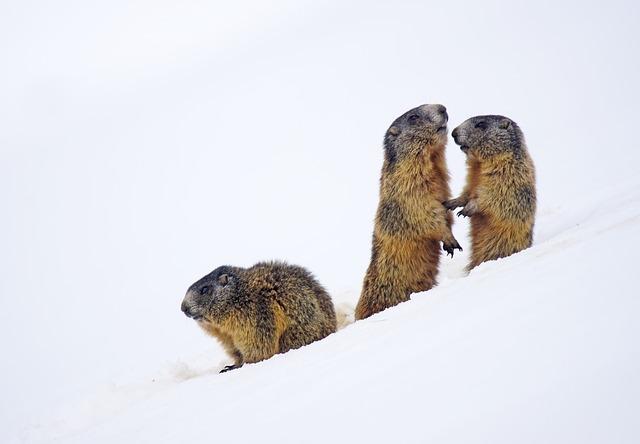 Marmot, Animal, Mammal, Hair, Nature, Mountain