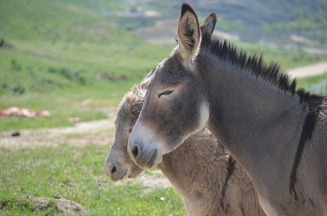 Wild Burros, Animal, Mammal, Grass, Nature, Wildlife