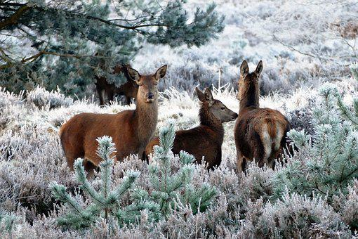 Deer, Animals, Nature, Wild, Wildlife, Forest, Mammal