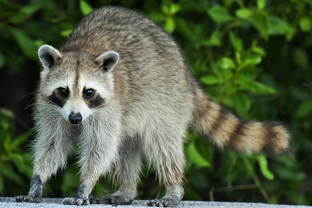 Procyon Lotor, Raccoon, Florida, Animal, Mammal, Nature