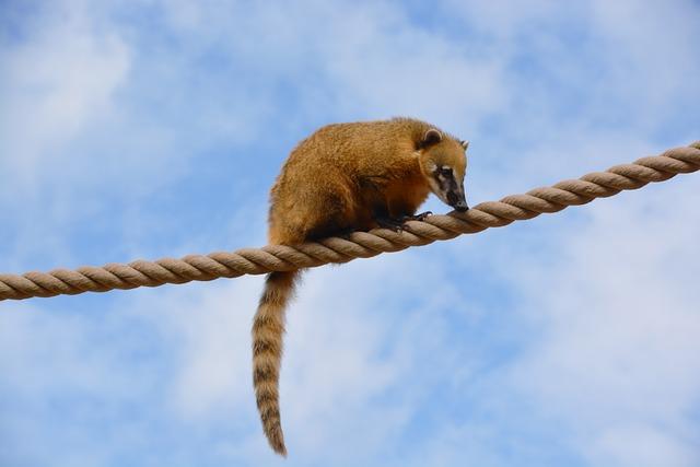 Coati, Ring-tailed Coati, Animal, Mammal, Nature