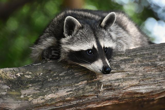 Raccoon, Wild Animal, Furry, Mammal, Sweet, Nature