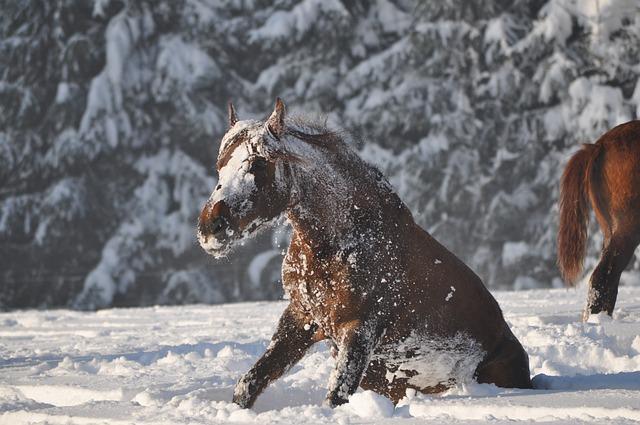 Winter, Snow, Cold, Outdoors, Mammal, Horse, Paso Fino