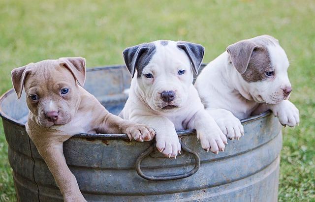 Dog, Canine, Pet, Puppy, Mammal, Cute, Portrait
