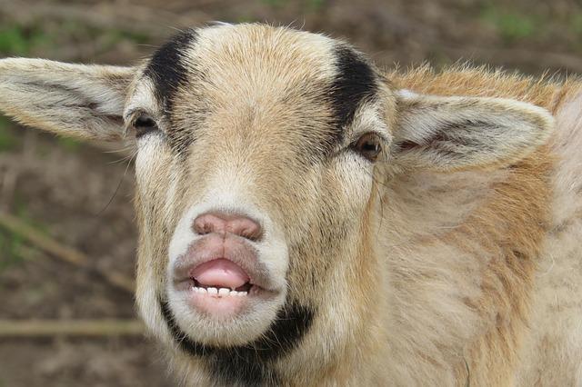Goat, Portrait, Close, Mammal, Animal World
